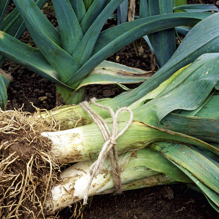 Leek Plants - Winter Collection