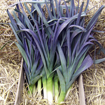 Leek Plants - Northern Lights