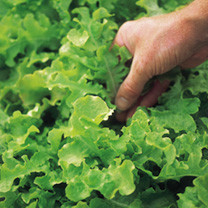 Lettuce Seeds - Salad Bowl