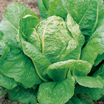 Lobjoits Green is a Cos lettuce that gives large, very crisp, dark green upright hearts which are self-folding. Suitable for spring and autumn sowing.