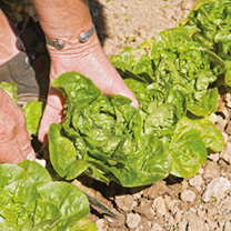 Lettuce Plants - Vailan Winter Gem