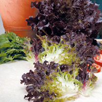 Lettuce Stealth Seeds
