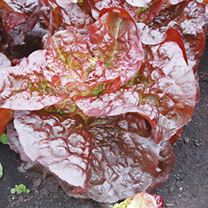 Lettuce Dazzle Seeds