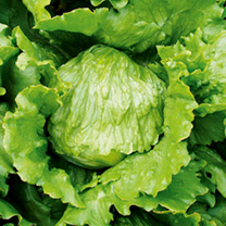 Lettuce Seeds - Match