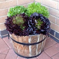 Lettuce Seeds - Salanova Mix