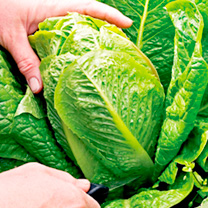 A cross between Iceberg and a Cos lettuce, it has boat-shaped leaves and the taste of iceberg with a hint of Christmas green peas. Its crunchy texture