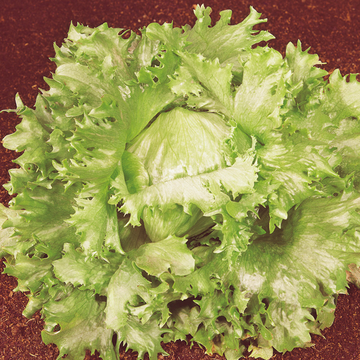 Lettuce Seeds - Ice King Organic