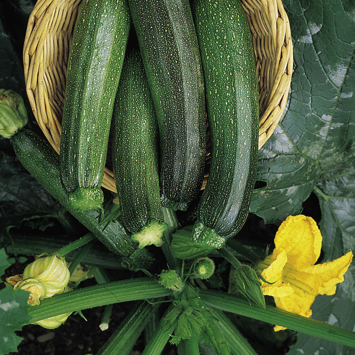 Courgette Seeds - F1 Green Bush