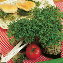 Delicious for salads and sandwiches. Sow two days after cress for maturing together. Ready to eat in just 4-6 days! SMALL SPACES made easy! Are you fe