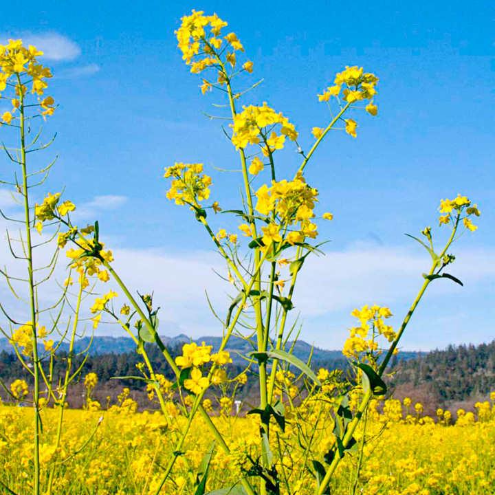 Mustard Seeds - White Tilney