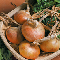Good crop of round, straw-coloured bulbs by early July. Recommended by the National Institute of Agricultural Botany. Japanese bulb onion variety.