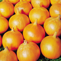 Globe-shaped maincrop for spring sowing. A solid onion which keeps well. Bulb onion variety.