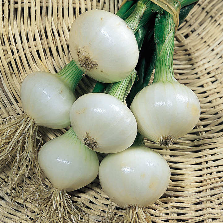 Onion Seeds - Paris Silverskin