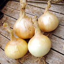 A very large onion which is ideal for exhibition or the kitchen! The oval-shaped, straw-coloured roots are tasty in salads or cooked, with an average