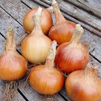A superb early maincrop onion with excellent resistance to Downy Mildew. Produces a heavy crop of delicious copper-brown, round-oval bulbs. Shows good