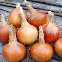 Onion Plants - F1 Santero