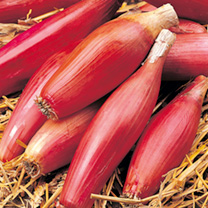 Onion Seeds - Long Red of Florence
