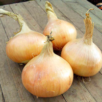 Onion Plants - Santero Improved