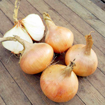 Onion F1 Hiball Seed