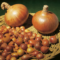 A well known and flavoursome variety which produces round, straw-coloured, medium-sized onions just right for the kitchen. Being quite thin-necked the