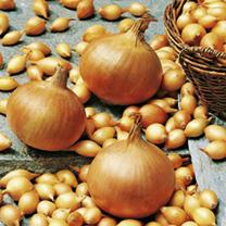Onion Sets - Sturon