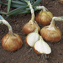 Onion Sets - Early Crop Radar