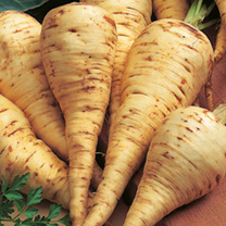 Specially bred by Suttons, Parsnip White Gem is highly recommended for use on all soils. Shorter roots than Tender and True, with fine, white smooth s