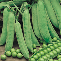 Perfect for spring, summer, autumn and over-wintered protected sowings. Produces a bountiful crop of sweet and succulent peas. Easy to grow. No stakin