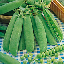 Pea and Bean Seed Offer