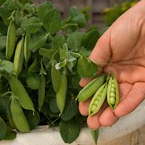 Pea Seeds - Tom Thumb