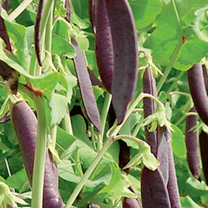 A mixture of three very different tasting and looking mangetout peas: Shiraz, Golden Sweet and Oregon sugar pod. Shiraz has purple pods with a floury