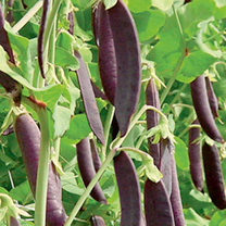 Pea Mangetout Seeds - Shiraz & Oregon Sugar Pod