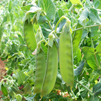 This true mangetout pea has a strong growth habit and produces a good crop of sweet and tasty eat all medium/dark green pods. Delicious stir-fried or