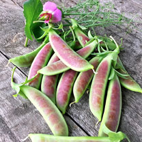A unique, tall-growing, high yielding pea with attractive bi-coloured purple/pink blooms and lots of rose blushed and pure green pods. Can be picked a