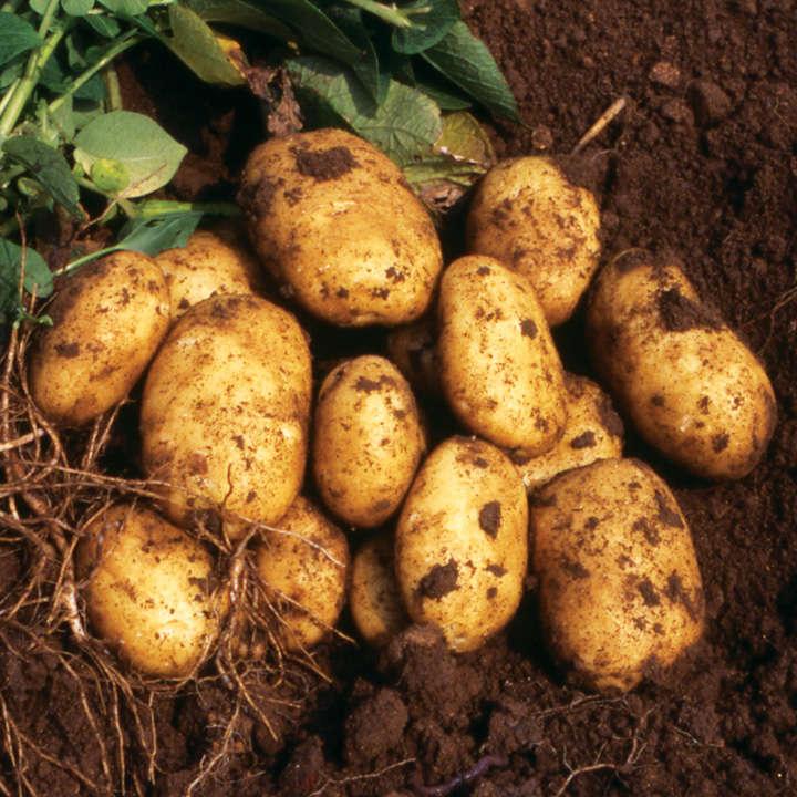 Seed Potatoes - Nicola 1kg (Late)