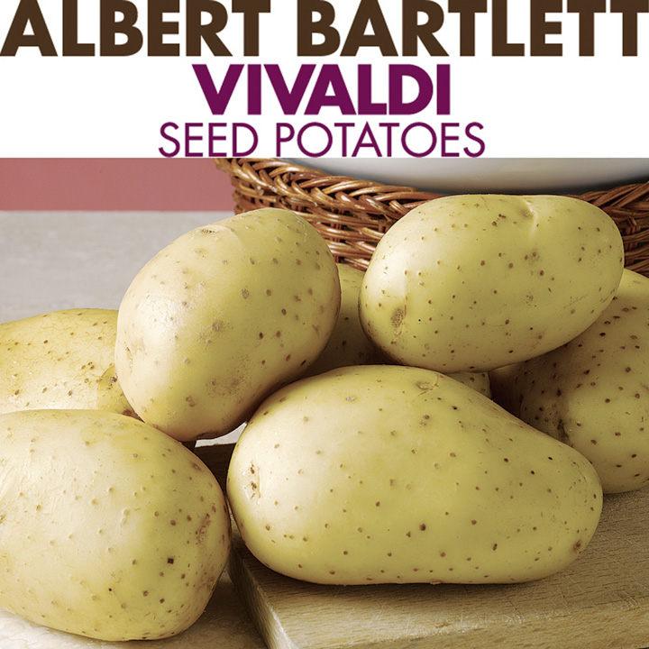 Seed Potatoes - Vivaldi 1kg