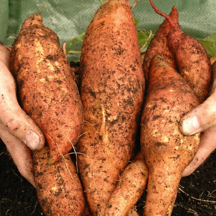 Sweet Potato Beauregard Plants