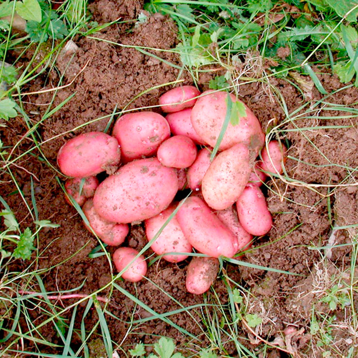 Seed Potatoes - Sarpo Axona