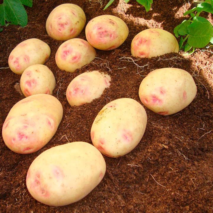 Seed Potatoes - Vales Sovereign 1kg