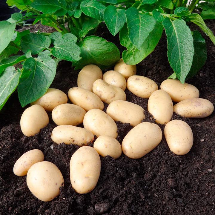 Seed Potatoes - Jazzy 1kg