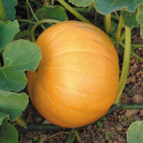 A superb pumpkin that produces enormous yellow/orange-skinned fruits great for competitions, but also delicious to eat! The yellow flesh gives colour