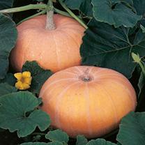 Squash Seeds - Zucca da Marmellata