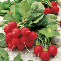 Radish Seeds - Jolly