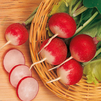 A traditional roudn, red, white-bottomed radish. Very tasty and perfect for summer salads.