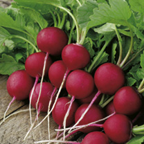 A fast-growing round radish, which is suitable for garden or protected growing. Its exceptionally red skin hides a tasty, crisp white heart.