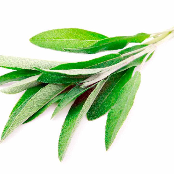 Herb Plant - Sage