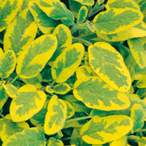 A herb which has tremendous perennial ornamental values in the garden and culinary uses in the kitchen. The fragrant foliage is variegated with a lime