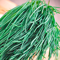 Salsola Seeds - Okahijiki