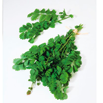 Herb Plant - Salad Burnet