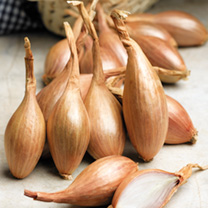 An excellent, slightly elongated shallot, with copper-coloured skins and great tasting pink-tinged flesh. Each bulb yields 6-8 bulbs at harvest. Plant